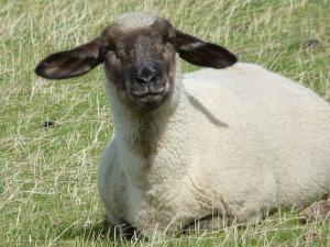 sheep-441944_640