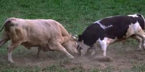 bulls-102764_640