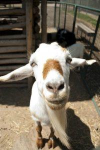 goat-2375091_640
